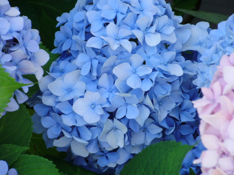 Even our Hydrangeas love to show off