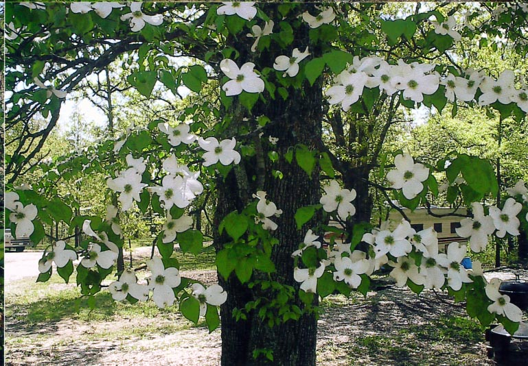 Pretty blossoms on the dogwood